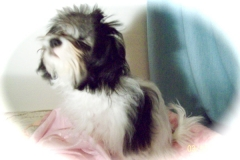 hava_havanese_puppy_set3_(4)