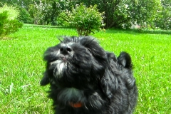 hava_havanese_puppy_set3_(6)