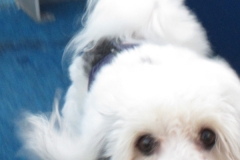 hava_havanese_puppy_set3_(7)