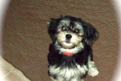 hava_havanese_puppy_set3_(9)