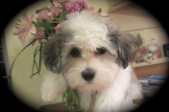 hava_havanese_puppy_set4_(1)