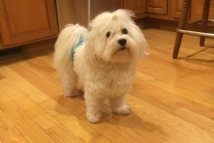 hava_havanese_puppy_set4_(15)