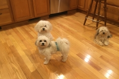 hava_havanese_puppy_set4_(17)