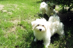 hava_havanese_puppy_set4_(18)
