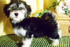 hava_havanese_puppy_set4_(19)