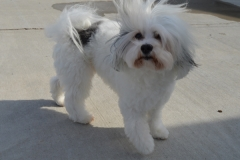 hava_havanese_puppy_set4_(2)