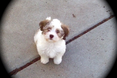 hava_havanese_puppy_set4_(20)