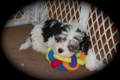 hava_havanese_puppy_set4_(3)