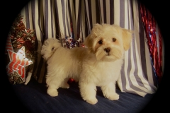 hava_havanese_puppy_set4_(5)