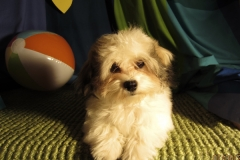 hava_havanese_puppy_set4_(6)