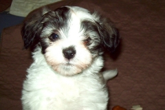hava_havanese_puppy_set4_(9)