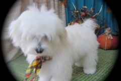 hava_havanese_puppy_set5_(1)