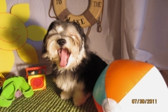hava_havanese_puppy_set5_(10)
