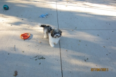 hava_havanese_puppy_set5_(11)