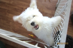 hava_havanese_puppy_set5_(14)