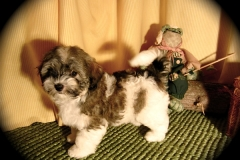hava_havanese_puppy_set5_(15)
