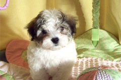 hava_havanese_puppy_set5_(16)