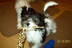 hava_havanese_puppy_set5_(18)