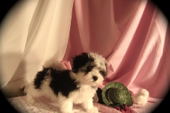 hava_havanese_puppy_set5_(19)