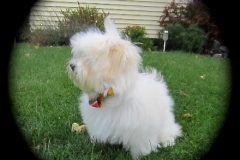 hava_havanese_puppy_set5_(2)