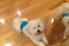 hava_havanese_puppy_set5_(22)
