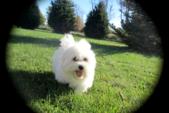 hava_havanese_puppy_set5_(3)