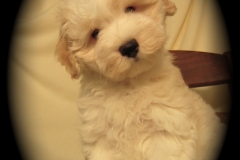 hava_havanese_puppy_set6_(1)
