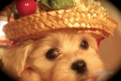 hava_havanese_puppy_set6_(10)