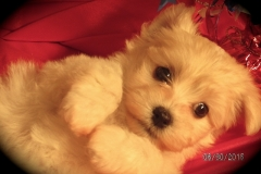 hava_havanese_puppy_set6_(11)