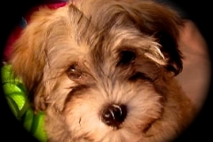 hava_havanese_puppy_set6_(12)