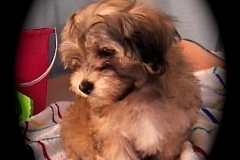 hava_havanese_puppy_set6_(15)