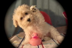 hava_havanese_puppy_set6_(17)