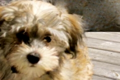 hava_havanese_puppy_set6_(19)
