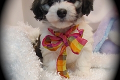 hava_havanese_puppy_set6_(2)