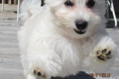 hava_havanese_puppy_set6_(20)