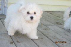 hava_havanese_puppy_set6_(21)