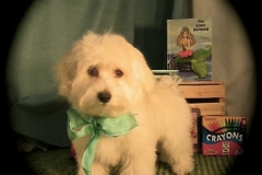 hava_havanese_puppy_set6_(22)