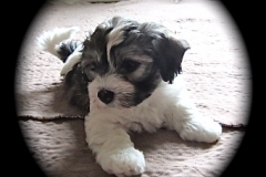 hava_havanese_puppy_set6_(3)
