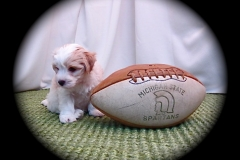 hava_havanese_puppy_set6_(5)
