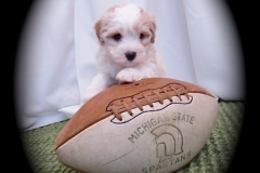 hava_havanese_puppy_set6_(6)