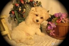 hava_havanese_puppy_set6_(7)