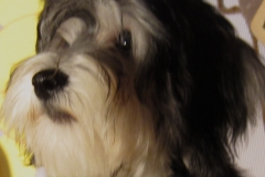 hava_havanese_puppy_set6_(9)