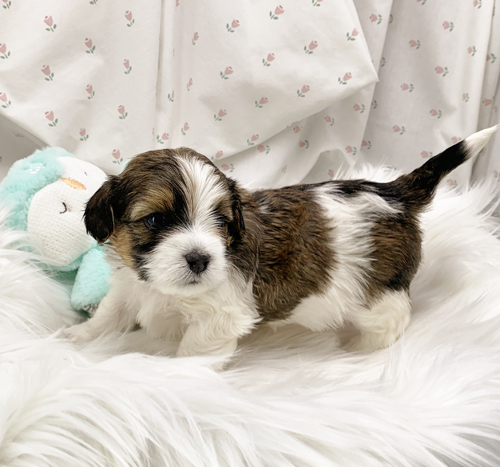 Bradly - Havanese puppy