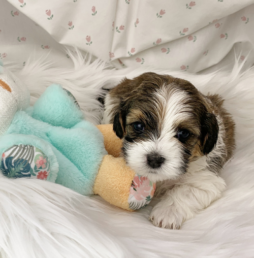 Bradly - Havanese puppy for sale in Michigan