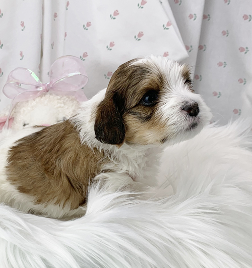 Sarah - Havanese puppy for sale in Michigan