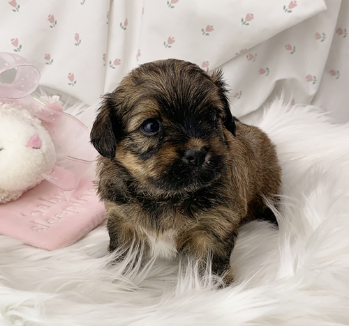 Willow - Havanese puppy for sale in Michigan