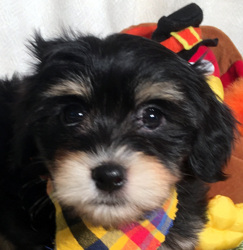Havanese puppy Brandy for Adoption