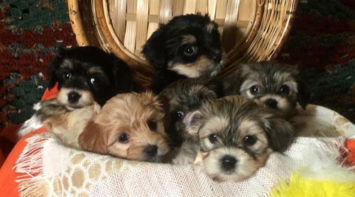 Havanese Puppies for adoption