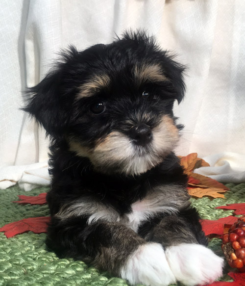 Minnie: Havanese Puppy for adoption