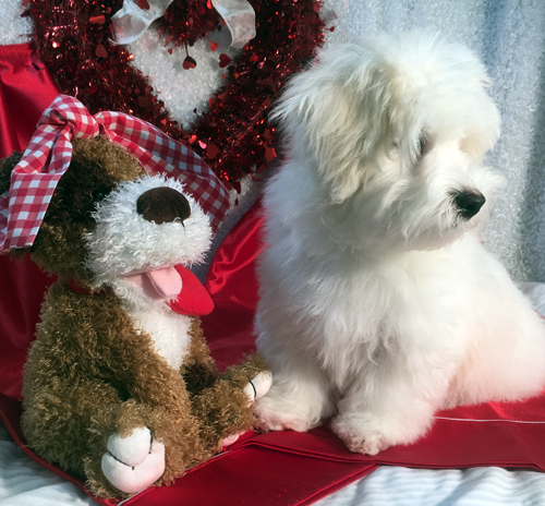 Havanese For Adoption